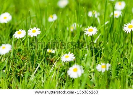 daisys - stock photo