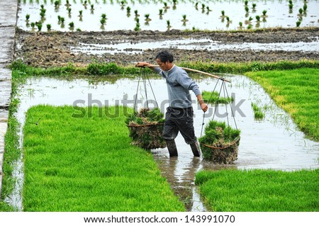 DALI, CHINA - MAY 11: Unidentified Chinese farmer works hard on rice field on May 11, 2013 in Dali, China. For many farmers rice is the main source of income (around $800 annual).