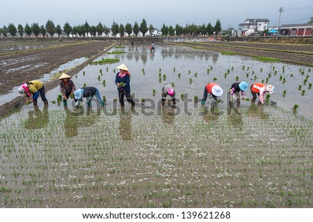 DALI, CHINA - MAY 11: Unidentified Chinese farmers work hard on rice field on May 11, 2013 in Dali, China. For many farmers rice is the main source of income (around $800 annual).