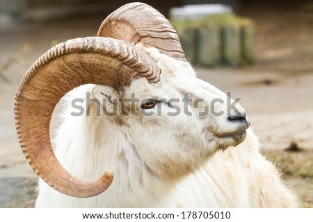 Dall sheep close-up portrait (adult male) - stock photo