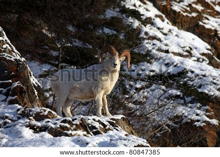 Dall Sheep on mountainside - stock photo