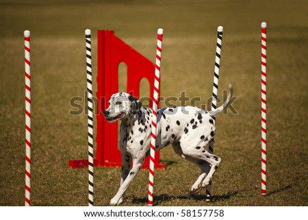 Dalmatian at agility course