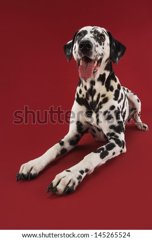 Dalmatian crouching with mouth open against red background - stock photo