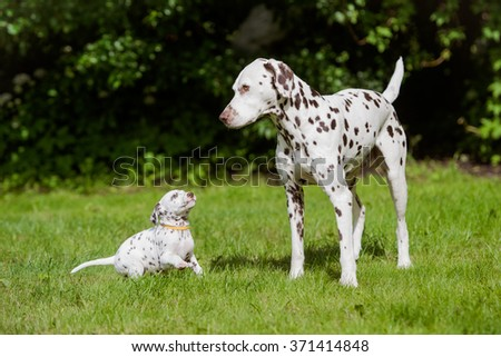 dalmatian dog and puppy