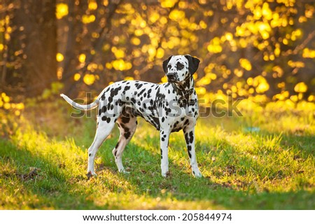 Dalmatian dog at sunset - stock photo