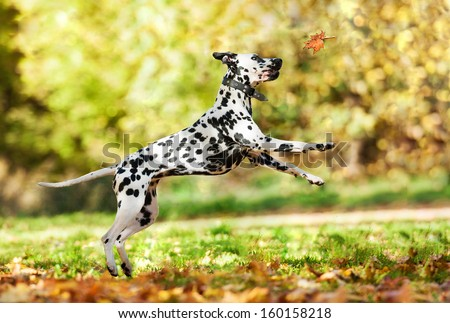 Dalmatian dog catching leaf in autumn - stock photo