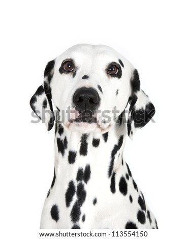 Dalmatian dog, close up portrait, Dalmatian dog - stock photo