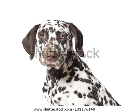 dalmatian dog close up up portrait, dalmatian dog - stock photo