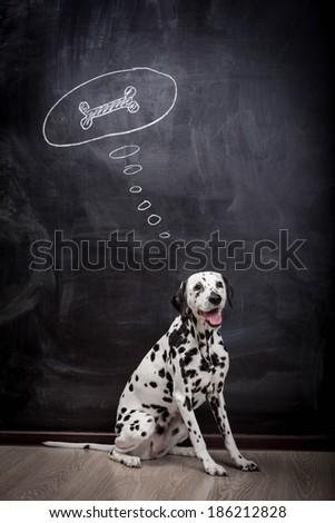 Dalmatian dog dreaming about a bone - stock photo