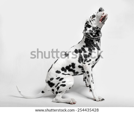 Dalmatian dog evil grin sitting on a white background