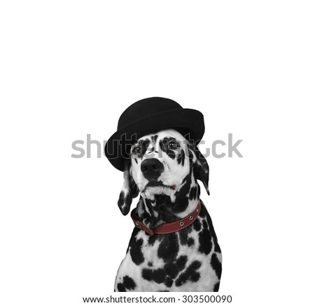Dalmatian dog in a black hat sits and stares into the camera isolated - stock photo