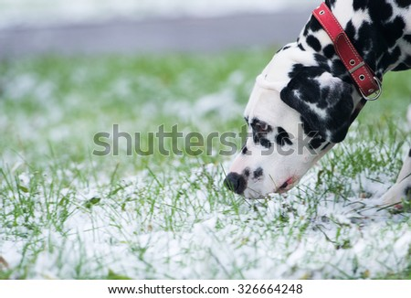 Dalmatian dog is black and white is standing on the street on the grass covered with the first snow fall and looks into the distance. Bloodhound takes the track - stock photo