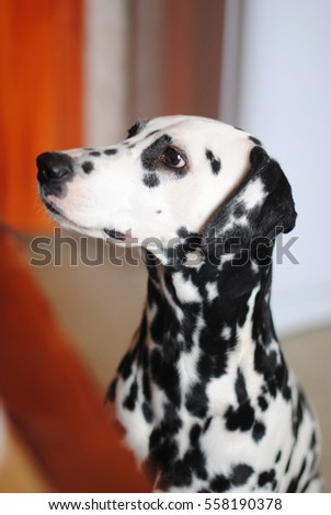 Dalmatian dog on a background of bright kitchen next to the table. Portrait