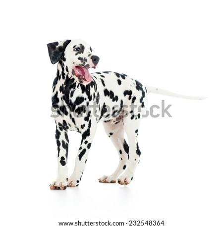 Dalmatian dog puppy isolated on white background - stock photo
