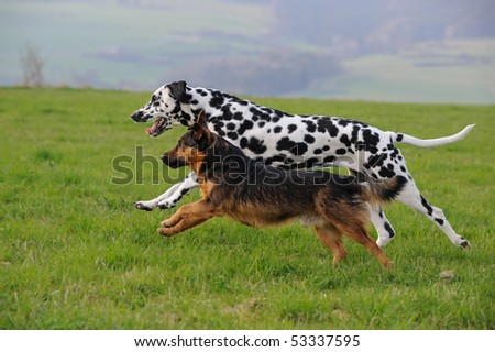 Dalmatian dog running with terrier dog - stock photo