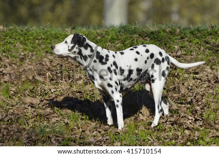 Dalmatian (dog)  runs through the forest - stock photo