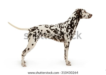 Dalmatian dog, stands isolated on white background  - stock photo