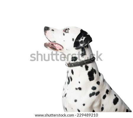 Dalmatian dog with black and white spots in profile. Looking away from camera and waiting for command. Animal isolated on white background wearing leather collar. - stock photo
