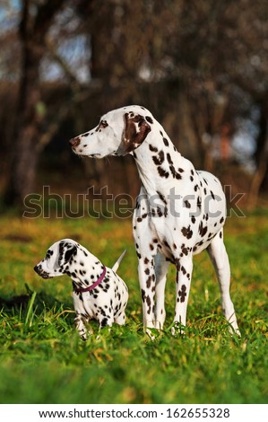 Dalmatian dog with puppy - stock photo