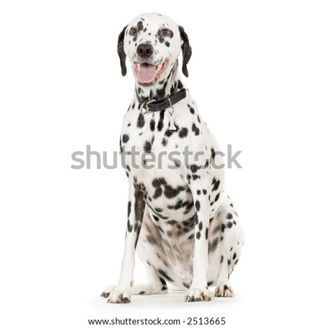 Dalmatian in front of white background - stock photo