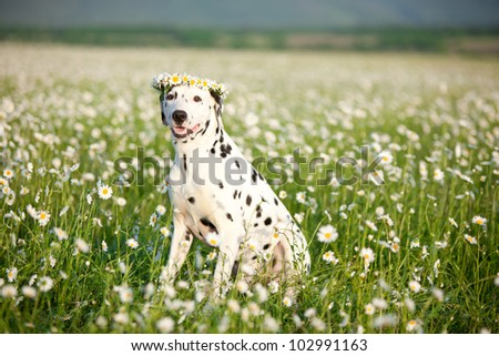 Dalmatian in wreath sitting in field of chamomiles
