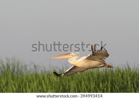 dalmatian pelican flying over marsh ( Pelecanus crispus ) - stock photo
