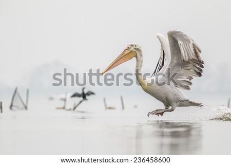 Dalmatian Pelican in flight(Pelecanus crispus) - stock photo