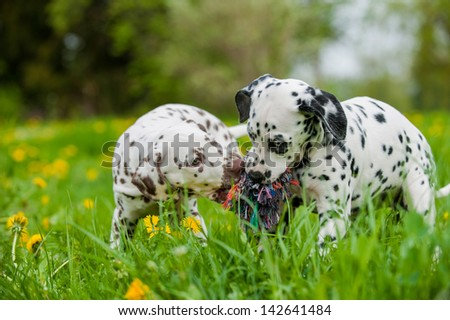 Dalmatian puppies - stock photo