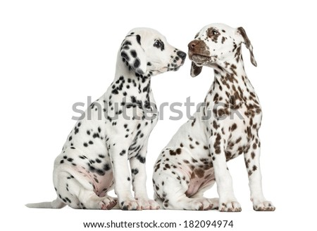 Dalmatian puppies sitting, sniffing each other, isolated on white - stock photo