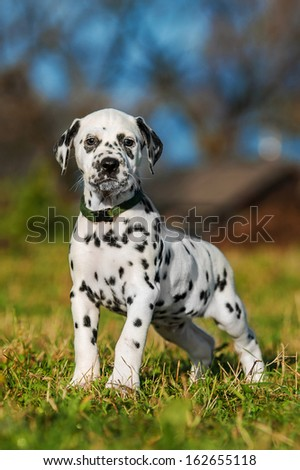 Dalmatian puppy - stock photo