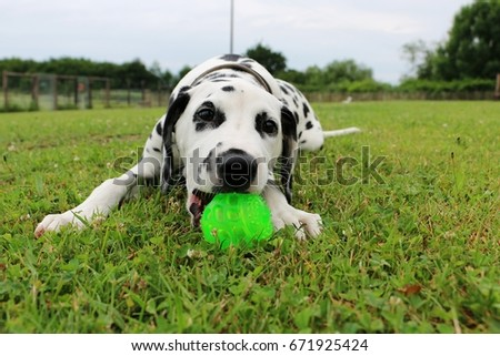 dalmatian puppy is playing ball in the garden