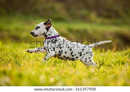 Dalmatian puppy playing in the yard - stock photo