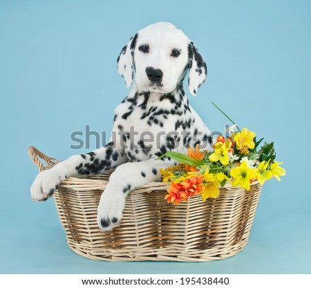 Dalmatian puppy sitting in a basket with pretty flowers on a blue background. - stock photo