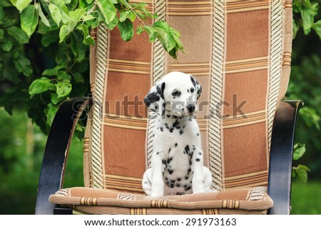 dalmatian puppy sitting on a chair outdoors