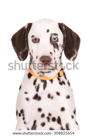 dalmatian puppy with different color eyes