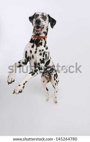 Dalmatian standing on hind legs against white background - stock photo