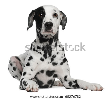 Dalmatian, 2 years old, lying in front of white background