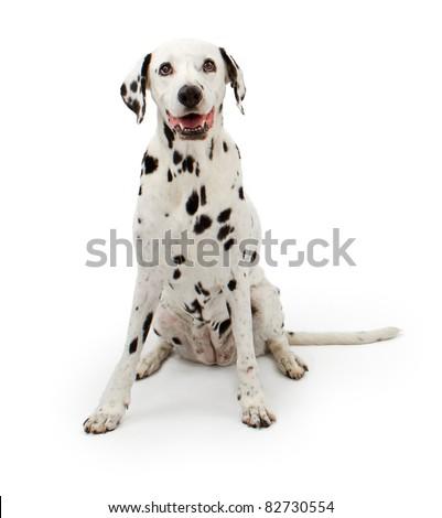 Dalmation dog sitting down on a white background - stock photo