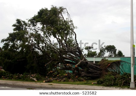 Damage by hurricane Katrina: A tree fell because of high wind, Thursday, Aug. 25, 2005, in Miami Florida. - stock photo