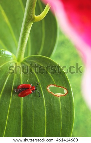 Damage caused by red lily beetle, scientifically known as Lilioceris lilii, first brought to North America by way of Montreal, Canada on flower bulbs originating from Europe and Asia
