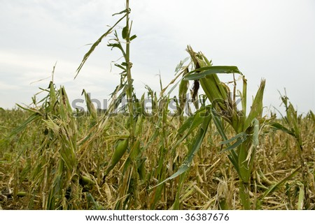 Damage to corn field