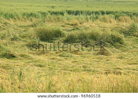 damaged rice field - stock photo