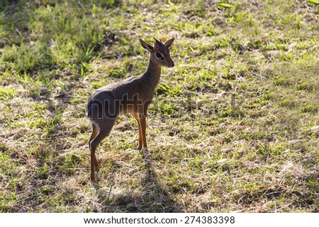 Damara dik-dik in Tanzani. The smallest antelope. - stock photo