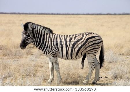 zebra erektion