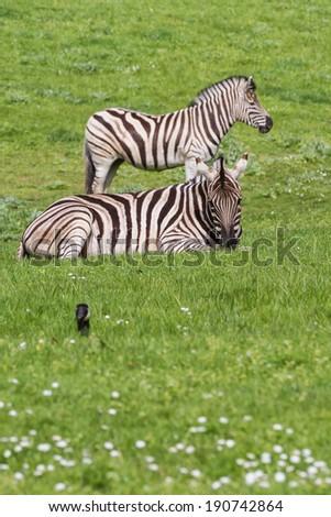 Damara Zebra (Equus burchellii antiquorum) standing on spring green grass in a drive thru safari - stock photo