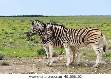 Damara zebras at sunrise, Equus burchelli, Etosha national park, Namibia
