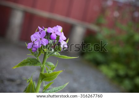 Dame's Violet (Hesperis matronalis) flowering in garden.  The flowers can be white, pink, shades of lavender and purple. The flower is characterized by four petals per flower. - stock photo