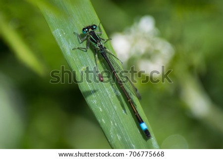 Damsel fly on leaf with small beetle sidekick