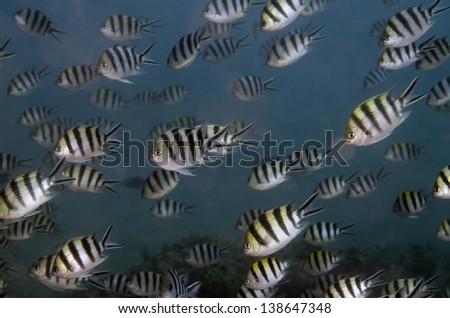 Damselfish - stock photo