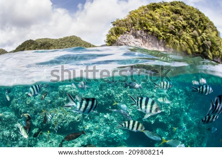 Damselfish swarm above a coral reef in Palau's inner lagoon. The scenic lagoon is characterized by hundreds of limestone islands. - stock photo